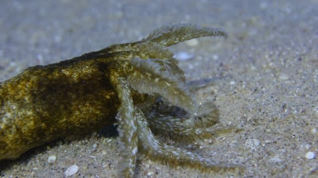 Sea Cucumber video