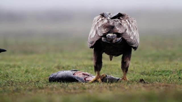 Sea eagle in Hungary video