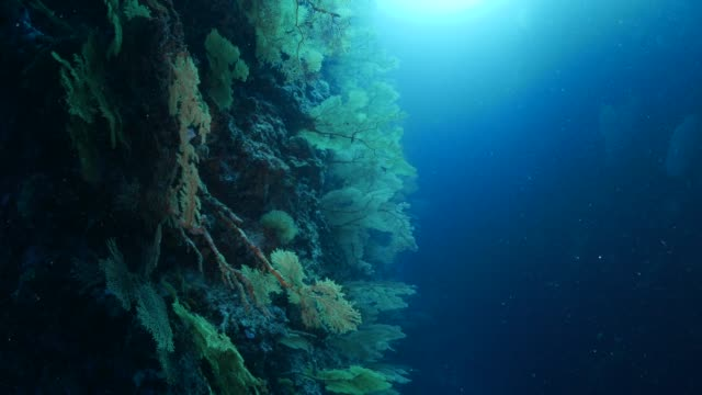 vídeos y material grabado en eventos de stock de abanicos de mar gorgonia bosque de coral en el arrecife, palau - zona pelágica