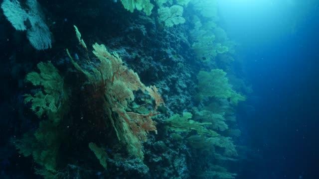 vídeos y material grabado en eventos de stock de bosque coral gorgonias, abanicos de mar en pared submarina - zona pelágica