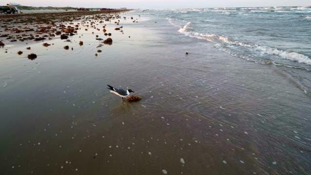 sea gulls flying around camera as aerial drone view above padre island shows amazing summer beach vacation destination - побережье мексиканского залива сша стоковые видео и кадры b-roll