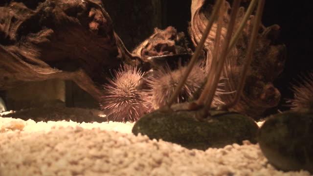 vídeos y material grabado en eventos de stock de erizo de mar (phylum echinodermata), primer plano - parte del cuerpo animal