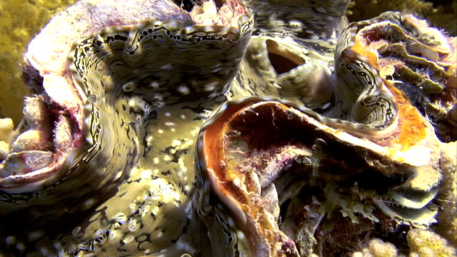 vidéos et rushes de sea life-bénitier géant - bivalve