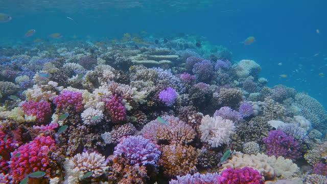 vídeos y material grabado en eventos de stock de vida marina en hermoso arrecife de coral con una gran cantidad de pequeños viridis tropicales de cromos de pescado (cromos verdes) en el mar rojo - bahía de lahami - marsa alam - egipto - arrecife fenómeno natural