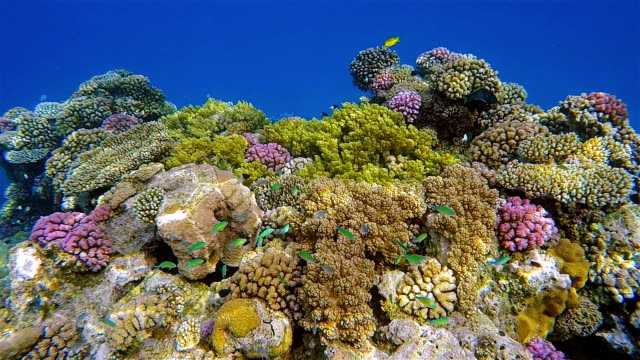 Sea life on beautiful coral reef with lot of tropical Fish ( green Chromis ) on Red Sea nearby Marsa Alam video