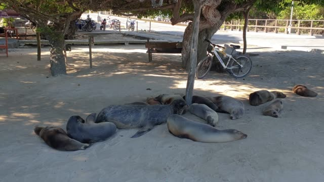 Sea Lion lie in Shade at the Harbor Isla Isabela, Galapagos Islands