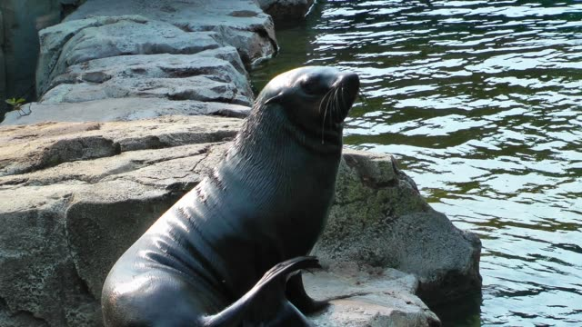 Sea lion rolling