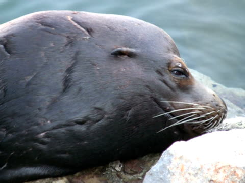 Sea Lion Seal Face, Close Up.  Looks at Camera, Blinks video
