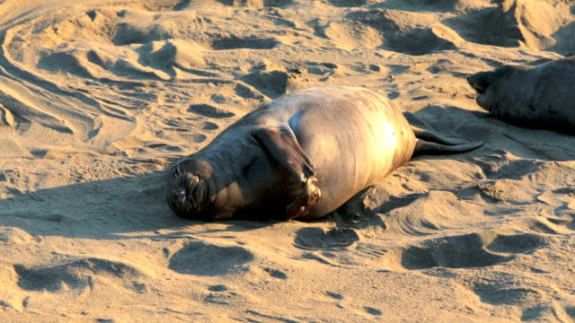 sea lions on the beach video