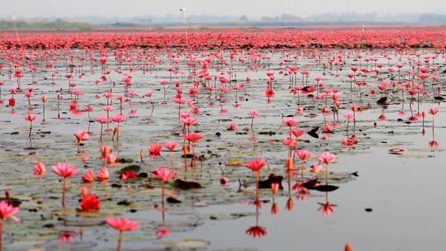 Sea of lotus video