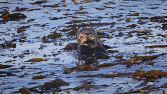 Sea Otter Emerges From Kelp Bed to Clean Face Sea Otter emerges from kelp bed to clean face then dives back into ocean. kelp stock videos & royalty-free footage