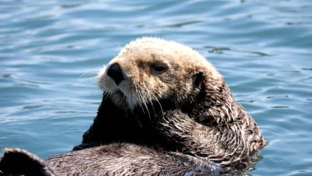 Sea Otter an Otter rubs his jaw in Seldovia Harbor, Alaska animal wildlife stock videos & royalty-free footage