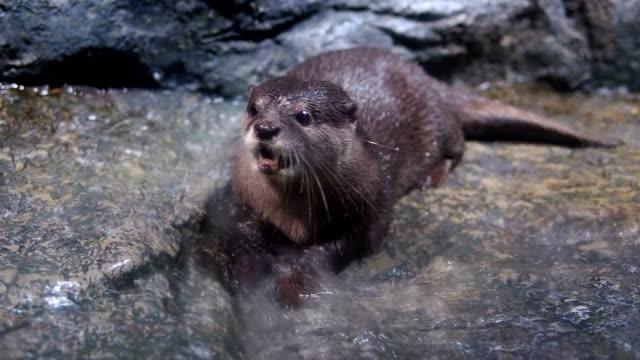 Sea otter – Video