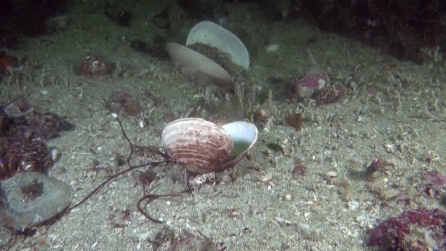 vidéos et rushes de coquillage sous l'eau dans l'océan de l'alaska. - coquille et coquillage