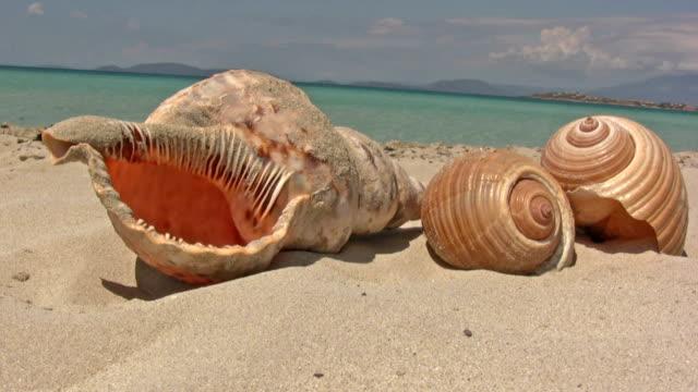 vídeos de stock e filmes b-roll de concha do mar - bugio
