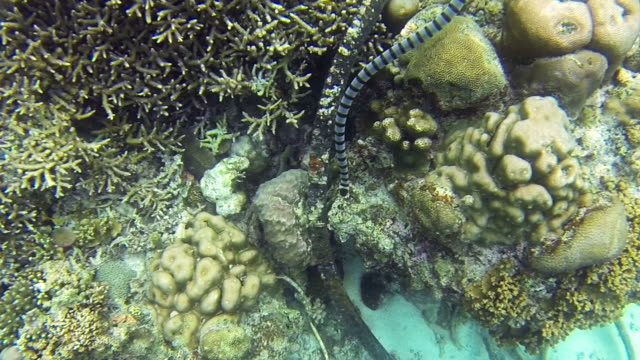 vídeos de stock, filmes e b-roll de cobra da família hydrophidae no recife de coral - estreito mar