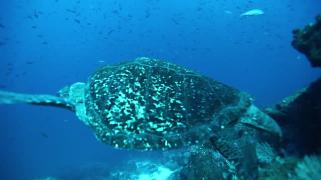 Sea tortoise turtle on background colorful corals underwater in sea of Galapagos. Sea tortoise turtle on background colorful corals underwater in sea of Galapagos. Swimming in world of beautiful wildlife of reefs and algae. Inhabitants in search of food. Relax diving. tortoise stock videos & royalty-free footage