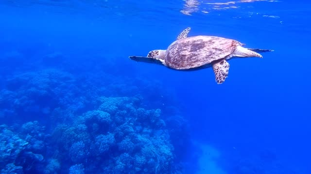 Sea Turtle Breathing Air Surface Hawksbill sea turtle (Eretmochelys imbricata). Underwater sea turtle. Turtle swimming in blue sea. Sea turtle breathing at Surface. Turtle reef coral garden. Tropical sea turtle. aqualung diving equipment stock videos & royalty-free footage