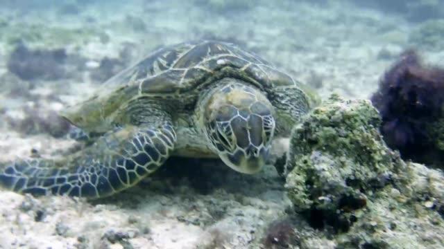 A sea turtle eating seaweed at the sea in Miyako island, Okinawa, Japan video