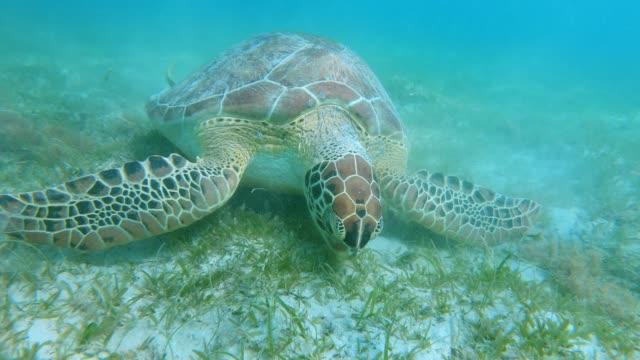 sea turtle feeding on ocean floor in the sea grass sea turtle feeding on ocean floor in the sea grass tortoise shell stock videos & royalty-free footage