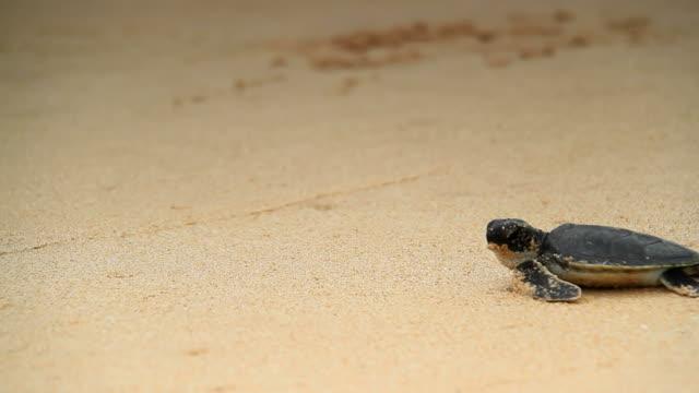 Sea Turtle hatchling Sea Turtle hatchlings walking towards sea turtle stock videos & royalty-free footage