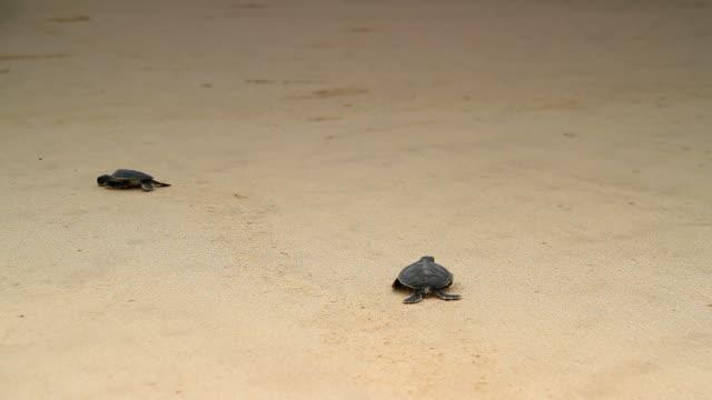 sea turtle hatchling - ekvatorn latitud bildbanksvideor och videomaterial från bakom kulisserna