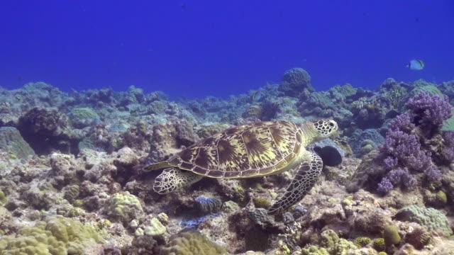 Sea Turtle Okinawa Islands video
