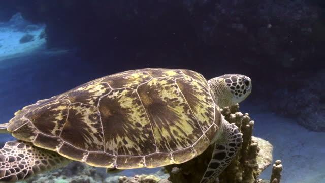 Sea Turtle Okinawa Islands Sea Turtle swimming sea life stock videos & royalty-free footage