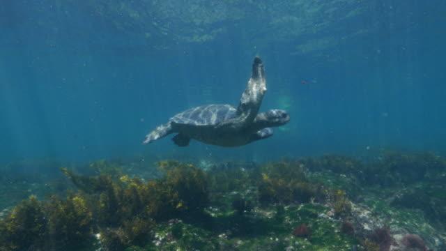Sea turtle swimming at undersea seagrass meadow, Galapagos Fernandina Island, Galapagos Islands, Ecuador - May 11, 2018 : Underwater sea life at Galapagos (2018_0428_0520-05-11_113937) ocean floor stock videos & royalty-free footage