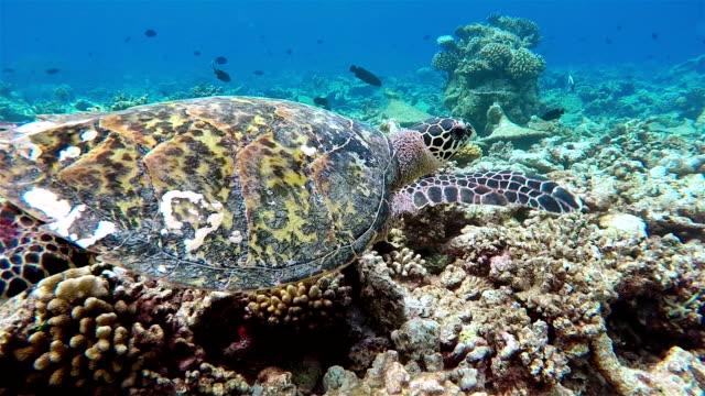 Sea turtle swimming on coral reef - Maldives video