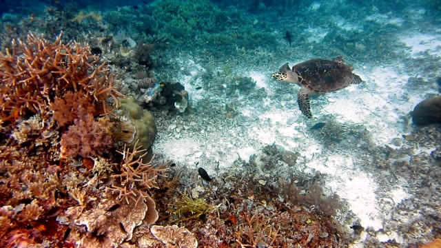 Sea Turtle swimming over coral reef. Hawksbill Turtle Sea Turtle swimming over coral reef. Hawksbill Turtle. diving to the ground stock videos & royalty-free footage