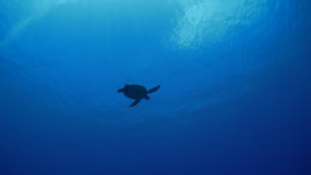 vídeos y material grabado en eventos de stock de tortugas marinas nadando a la superficie del agua - palaos