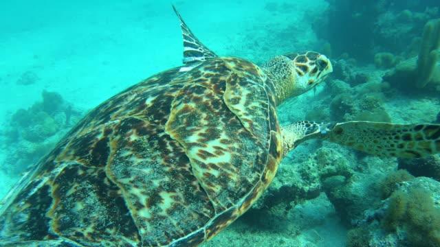 stockvideo's en b-roll-footage met zeeschildpad die onderwater in glasheldere turken en water caicos zwemt - providenciales