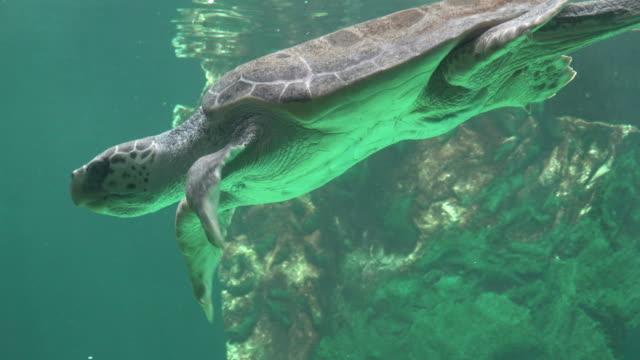 Sea Turtle Swimming Underwater Sea Turtle Swimming Underwater tortoise shell stock videos & royalty-free footage