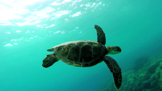 Sea Turtle Swimming video
