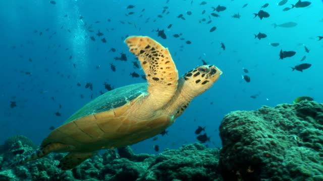 vidéos et rushes de tortue de mer nager - tortue