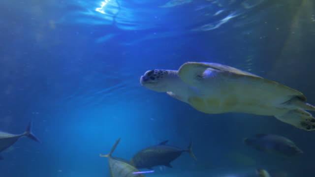 deniz kaplumbağası yüzme balık ile - i̇htiyoloji stok videoları ve detay görüntü çekimi
