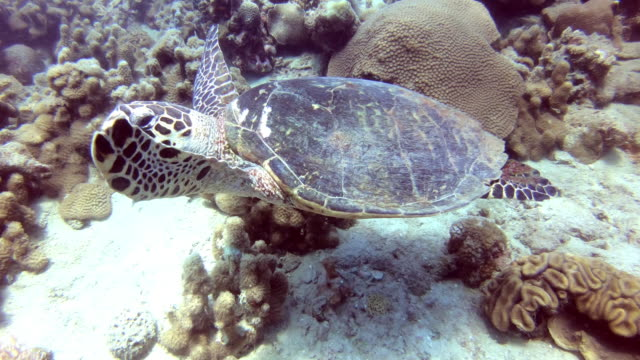 A sea turtle swims in the ocean amid colorful corals.