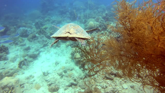a sea turtle swims in the ocean amid colorful corals. - isole mauritius video stock e b–roll