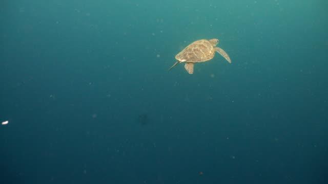 Sea turtle under water video