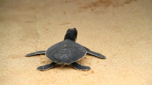 vidéos et rushes de tortue de mer - sri lanka