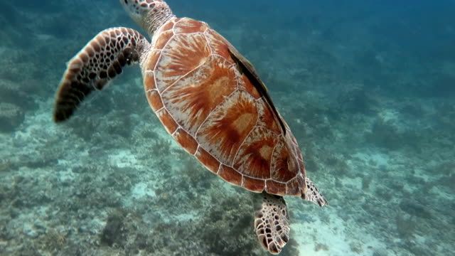 żółwiowy  - żółw lądowy filmów i materiałów b-roll
