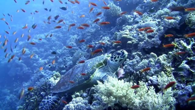 HD: Tortuga de mar - vídeo