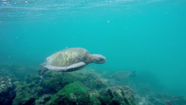 Sea Turtle Galápagos sea turtle and sealife turtle stock videos & royalty-free footage