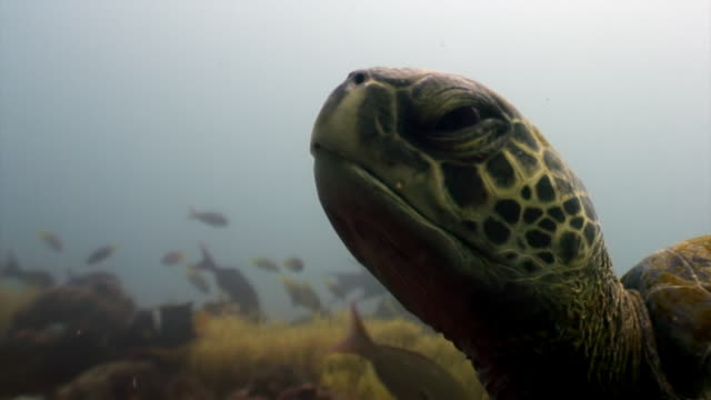 Sea turtle with yellow tortoiseshell underwater lagoon of ocean on Galapagos. Sea turtle with yellow tortoiseshell underwater lagoon of ocean on Galapagos. Amazing life of tropical nature world in blue water. Scuba diving. tortoise stock videos & royalty-free footage