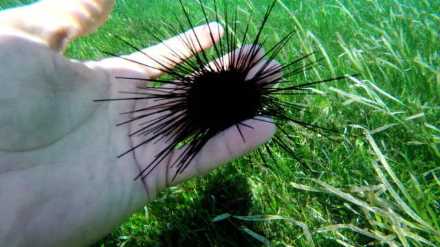 sea urchins on human hand video