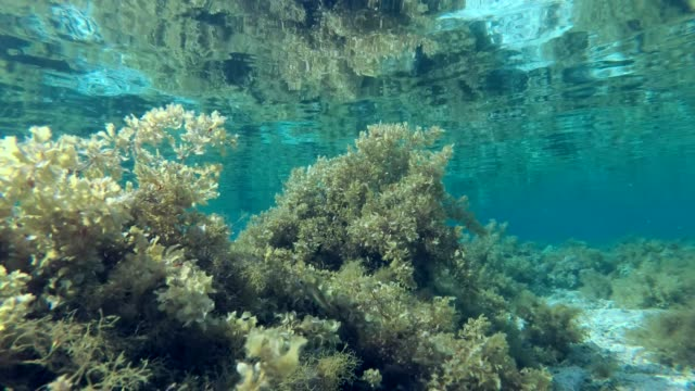 Seabed covered with dense growths of Brown algae is reflected from the surface of the water on shallow Seabed covered with dense growths of Brown algae is reflected from the surface of the water on shallow kelp stock videos & royalty-free footage