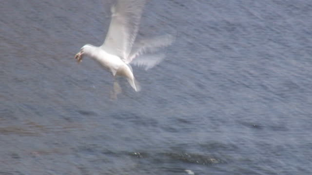 Seagull 2 - HD 1080/60i Seagull flying over the lake and dives onto the surface to pick up some food animal limb stock videos & royalty-free footage