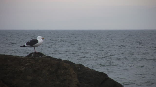 Seagull at the Pacific Ocean video