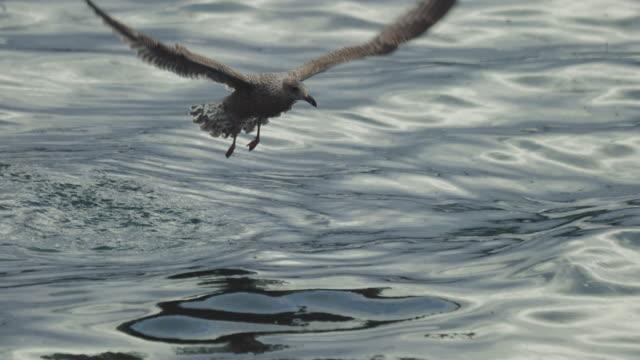 Seagull birds: feeding frenzy behavior